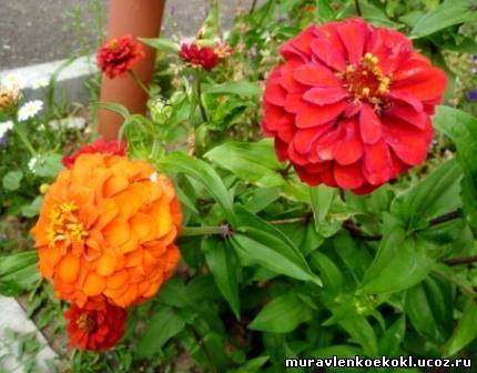 Цветок витус