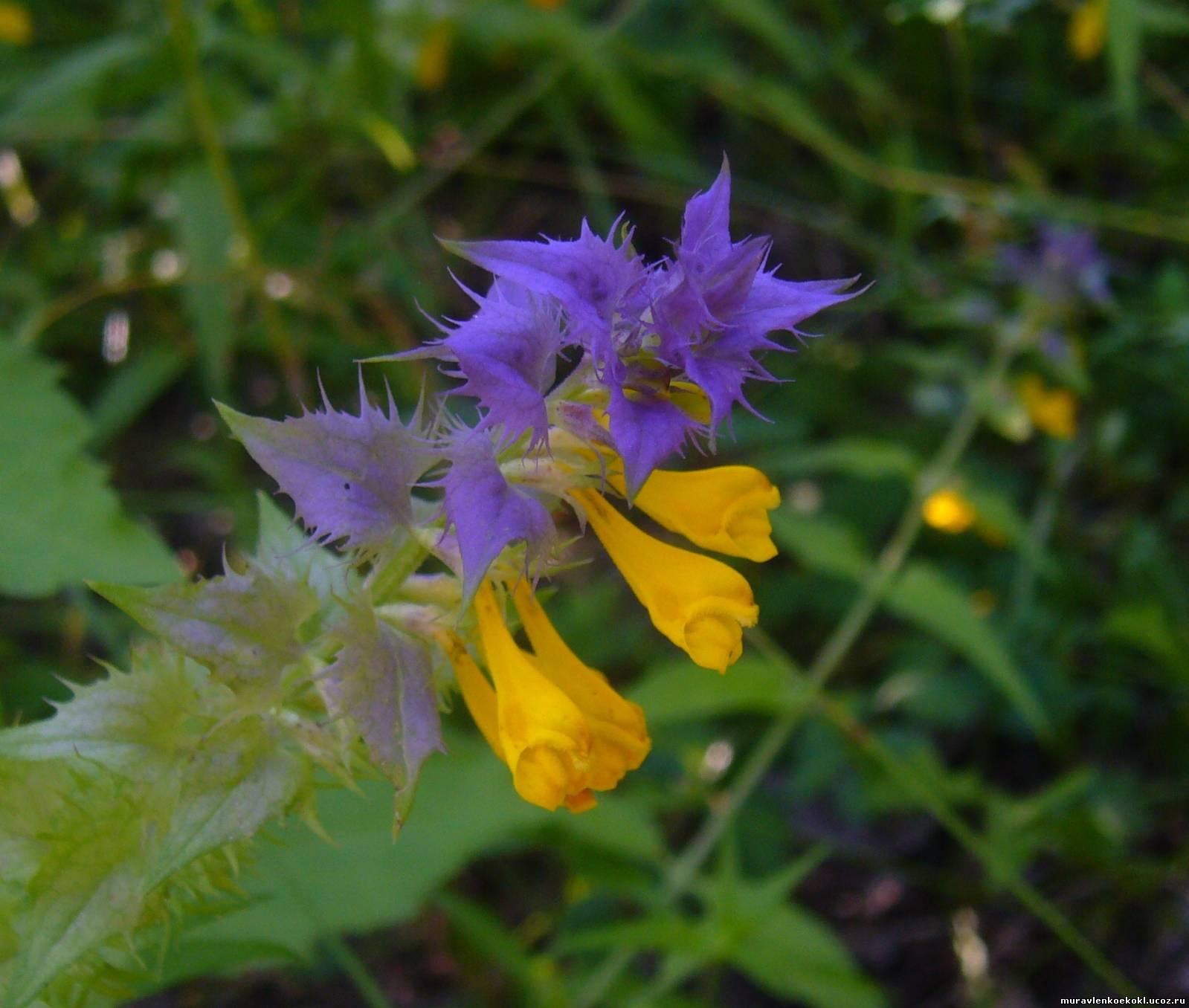 Иван-да-Марья: описание цветка, лечебные свойства, фото