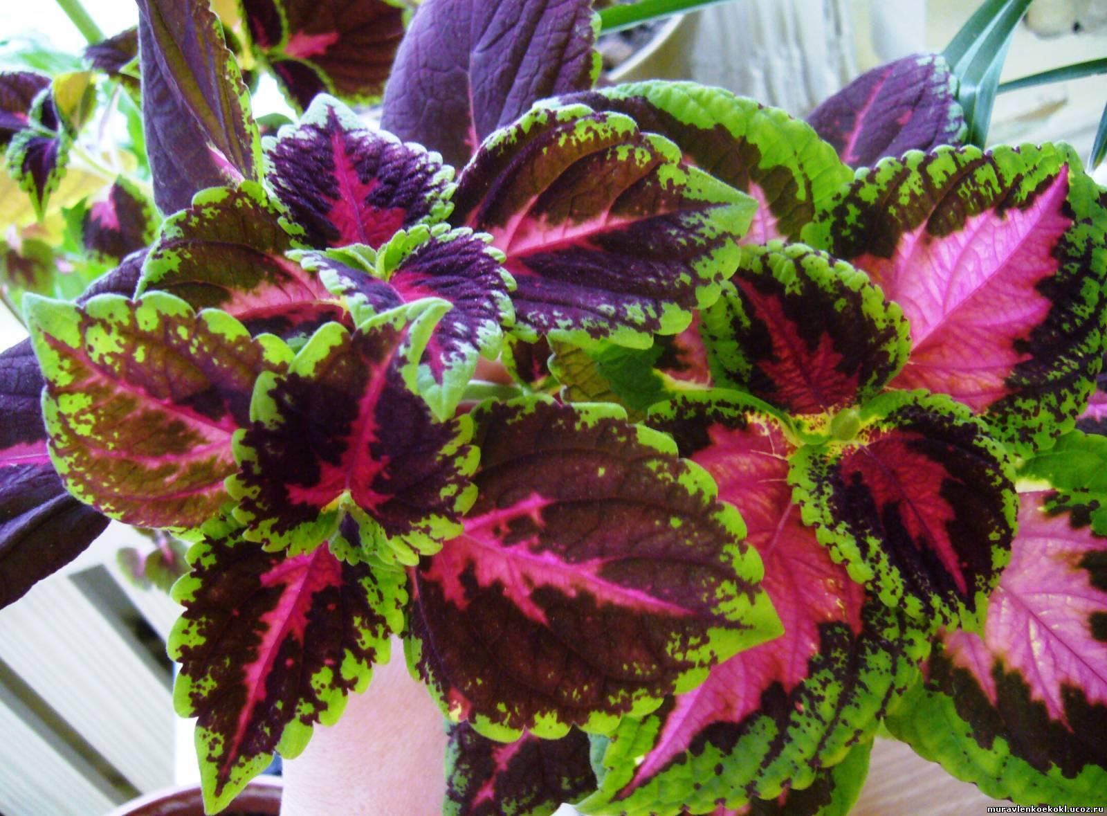 Колеус цветок уход в домашних условиях фото