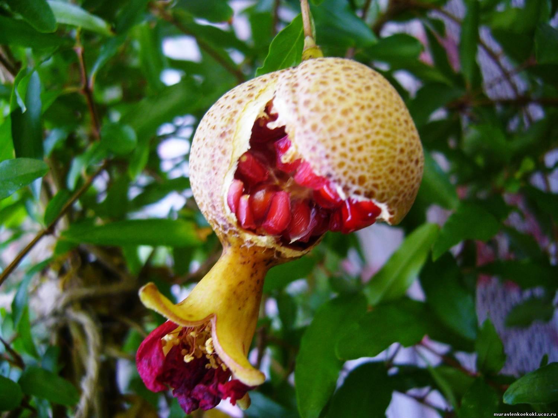 Незнакомая женщина подарила семена дикого граната примета